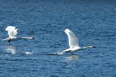 Mute swan take off (evisdotter) Tags: takeoff swans svanar birds fåglar water nature sooc reflections light spring