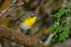 Yellow-Breasted Chat (Gf220warbler) Tags: idaho chat passerine songbird
