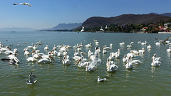 American white pelicans (posterboy2007) Tags: chapala mexico lakechapala lake americanwhitepelican water