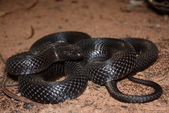 Spotted/Blue-bellied Black Snake (Pseudechis guttatus). Pilliga, NSW. (Jesse's Wildlife) Tags: outback herping herp snake fauna jessecampbell jesseswildlife pilligaherping venom elapid pseudechisguttatus bluebelliedblacksnake spottedblacksnake
