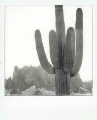 saguaro and superstitions (EllenJo) Tags: instantfilm polaroidoriginals theimpossibleproject impossibleproject instant arizona az march 2019 ellenjo sx70 polaroid daytriptoapachetrail apachetrail sonorandesert apachejunction lostdutchmanstatepark arizonastateparks saguaro