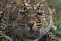 Leopard (bikohuester) Tags: leopard bigcat wildlifephotography wildlife animal predator conservation outdoor nature adventure travel kenya africa discover eath