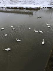 Animated Swans (sjrankin) Tags: 16march2019 edited naganuma hokkaido japan snow animals birds swans bridge