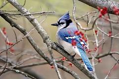 Blue Jay (Anne Ahearne) Tags: wild animal bird nature wildlife blue jay beautifulbird maple buds tree songbird birdwatching