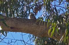 Little owl roosting (phillipbonsai) Tags: littleowl lafinca spain athenenoctua roost