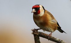 Goldfinch 101218 (4) (Richard Collier - Wildlife and Travel Photography) Tags: birds wildlife naturalhistory nature british goldfinch britishbirds naturethroughthelens