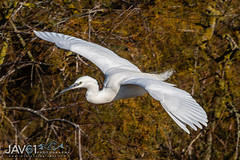 Little egret (Egretta garzetta)-8617 (George Vittman) Tags: bird heron egret flight nikonpassion wildlifephotography jav61photography jav61 fantasticnature