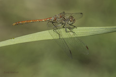 Sympetrum sinaiticum. Adult male (Ricardo Menor) Tags: odonatos odonata anisópteros libélulas dragonflies dragonfly airelibre iluminaciónnatural insecto macrofotografía canon60d 2018 sympetrumsinaiticum macho male machojoven youngmale elprado elprado2018 pinoso pinoso2018