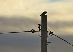 Cresswell - Kestrel On Telegraph Pole (Gilli8888) Tags: nikon p900 coolpix northeast northumberland nature birds wetlands cresswell cresswellponds kestrel birdofprey pole telegraphpole silhouette silhouettephotography wires clouds sky