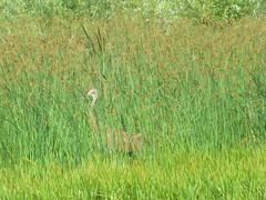 Sandhill Crane (D. S. Hałas) Tags: halas hałas canada ontario haltonregion haltoncounty milton nassagaweyatownship haltonregionalforest brittontract chordata sarcopterygii aves gruiformes gruidae antigonecanadensis gruscanadensis sandhillcrane crane bird