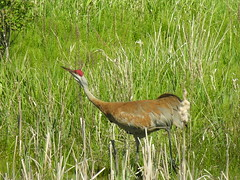 The WALK (reifelbirdsanctuary) Tags: sandhillcrane britishcolumbia fraserriverestuary bird crane delta ladner birdsofdelta coastal antigonecanadensis georgecreifelmigratorybirdsanctuary