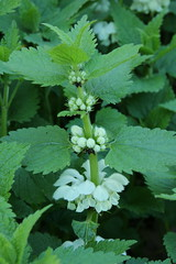 White dead-nettle (worldthroughalens74) Tags: white nettle plant flower wildflower uk england staffs nature outdoors canon sigma spring