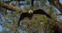 Eagle taking flight from a pine tree (adirondack_native) Tags: bald eagle tree pine flight flying bird prey