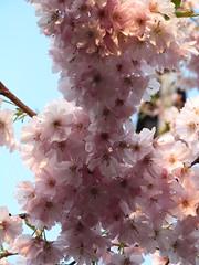 Spring blossom, Reading (fyfester) Tags: blossom spring reading uk march 2019 berkshire