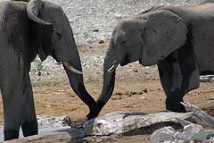 Sharing fresh water (sacipere) Tags: elefant elephant namibia etosha waterhole loxodontaafricana