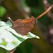 Caribbean Daggerwing (Marpesia eleuchea) - Holguín Province, Cuba - Feb 2019