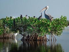 (zp.photo) Tags: bird eau mangrove oiseau