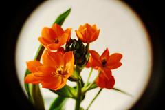 Blume (chipdetty) Tags: pflanze blume blüte blüten blumen flower