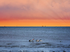 Pelicans at sunrise (Pamela Jay) Tags: pelicans birds cairns tropical sea water containerships sunrise pamelajay queensland canon australia