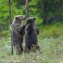 Licking a tree (GunnarImages (Gunnar Haug)) Tags: cub cottongrass cute mammal water nordic brown brownbear tree beardance forest love pretty landscape finland swamp green