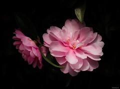 pink sasanqua camellias (Christine_S.) Tags: blackbackground canon eos japan nature garden outdoor m5 mirrorless flowers flower blossom winter january macro ngc npc
