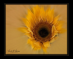 Sun Rays (Visions by Vincent) Tags: sunflowers florida flowers frame floridastatepark yellow topaz texture fantasticnature a hrefhttpswwwflickrcomgroups1248835n24img srchttpsfarm3staticflickrcom26284132214060c8fd543843ojpg width150height150 bgreat photographer member awardba this is wonderful photograph it belongs deserves its standing place for great photographers post 1 please award 3 get 5 awards targetblank hrefhttpswwwflickrcomgroups1248835n24discuss72157623946511170and hereabr tag photo greatphotographers