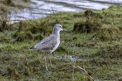 the king of the cut (blackfox wildlife and nature imaging) Tags: nikon d300s sigma150600c greenshank wales wildlife waders flintcastle deeestuary
