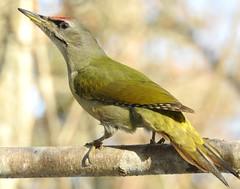 Grey-headed Woodpecker ♂ (Picus canus) (eerokiuru) Tags: greyheadedwoodpecker picuscanus grauspecht dzięciołzielonosiwy hallpearähn woodpecker bird p900 nikoncoolpixp900 animalplanet