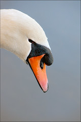 Swan-Head (martin-nolan) Tags: nikon d7200 70300mm bird ireland cobh cork winter swan