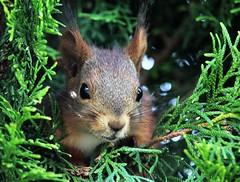 IMG_0013 (www.ilkkajukarainen.fi) Tags: orava animal squirrel happy life nature luonto espoo visit travel travelling suomi finland finlande eu europa scandinavia