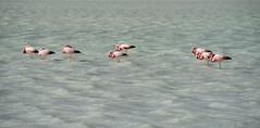 battling the wind (Tina Grdic Kukulic) Tags: flamingos wildlife birds bolivia altiplano natgeo pink travel nature lagunablanca eduardoabaroanationalreserve southamerica