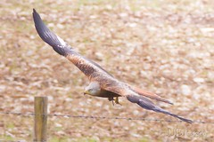 Red Kite. (JJB Images) Tags: amazingnature beautiful canon canoneos6d clear countryside closeup canonef600mmf4islens detail england focus fuji interesting image jjbimages lumix marlborough minolta nikon nature natural panasonic pewsey rural rspb wiltshire woodlands wildlife xl zoom zoomed