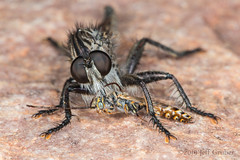 Robber Fly with prey (jgruber111) Tags: asilinae asilidae diptera insect macro entomology robberfly