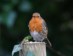 DSC08479 (simonbalk523) Tags: robin arundel sussex sony tamron photography nature wetlands birds animals wildlife