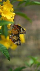 2019-02-11_12-41-34_ILCE-7M2_DSC063521_Kiri (Miguel Discart (Photos Vrac)) Tags: 2019 240mm animal animalphotography animals animalsupclose animaux butterfly chiangmai fe24240mmf3563oss fleurs flowers focallength240mm focallengthin35mmformat240mm holiday ilce7m2 iso250 nature naturephotography papillon pet sony sonyilce7m2 sonyilce7m2fe24240mmf3563oss thailand thailande travel vacances voyage