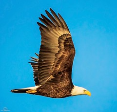 Iconic (philbeckman56) Tags: california baldeagle birds birdsinflight eagle nature wildlife