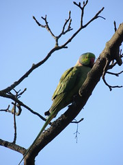 Ring Necked Parakeet (Glass Horse 2017) Tags: countydurham hartlepool wardjacksonpark birds ringneckedparakeet exotic green resident featheryfriday