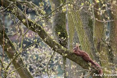 Red Squirrel (Daveoffshore) Tags: red squirrel tree walnut eat