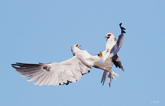 White-Tailed Kite (Thy Photography) Tags: whitetailedkite wildlife animal avian animals raptor raptors bird backyard birdofprey nature outdoor photography prey california sunrise sunset sunshine