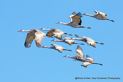 Phalanx of Cranes (Gary Grossman) Tags: cranes formation flock phalanx birds wildlife nature northwest winter garygrossman garygrossmanphotography pacificnorthwest sandhillcranes wildlifephotography ridgefield ridgefieldnationalwildliferefuge