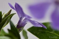 Hierba doncella, (Vinca major) (EFD-fotolab) Tags: lila focalfija macrofotografia macro nikkor105mm nikond610 nikon efdfotolab españa invierno naturaleza flowers flores floressilvestres vincamajor hierbadoncella