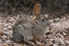 Young Desert Cottontail (tomblandford) Tags: desertwildlife desertcottontail saguaronationalparkwildlife sonorandesert nature rabbit smallmammal cute conservation protecttheenvironment protectpubliclands protectwildlife