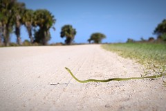 Brake for snakes .. (David Jesse Reyes (D.J.)) Tags: greensnake reptiles herpetology wildlife nature nikon photography florida snake roughgreensnake herping love