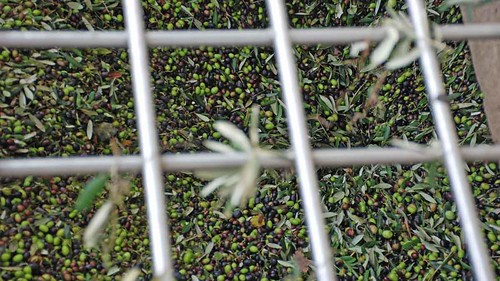 Olives collected