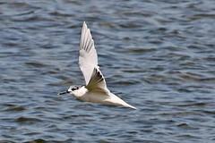 Sandwich Tern (Roy Lowry) Tags: sandwichtern praiadefaro riaformosa thalasseussandvicensis flightshot