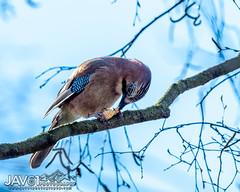 Snacking jay (Garrulus glandarius)-6038 (George Vittman) Tags: bird jay snack food tree branch nikonpassion wildlifephotography jav61photography jav61