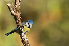 mésange bleue blue tit (denisaguilar1) Tags: msangebleue bluetit oiseauxsauvage faune passereau volatile forêt nature