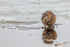 Muskrat (Peter Stahl Photography) Tags: muskrat spring water ice frozen eating