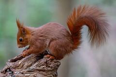 Red Squirrel / Ecureuil roux (Eric KAROUTCHÉ) Tags: redsquirrel squirrel ecureuil ecureuilroux woods bois forest foret boisdevincennes animal animals nature wildlife canon eosr ef100400mm