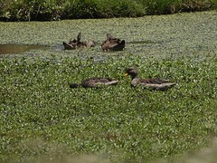 anas georgica (ze_da_binha) Tags: aves birds marreca parda marrecaparda pintail yellowbilled pintailyellowbilled anas georgica anasgeorgica anatidae lagunaderocha uruguay binha zedabinha